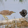 Young Black Crowned Night Heron chasing a common moorhen