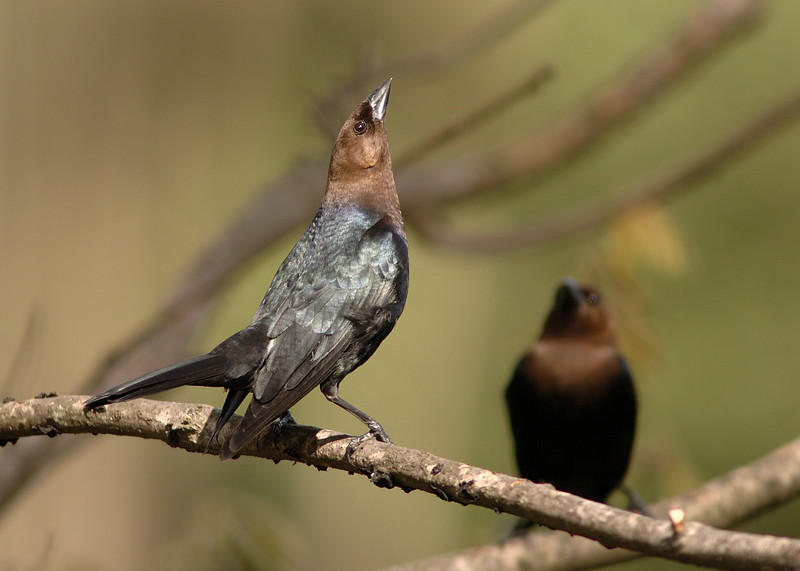Brown Head Cowbird