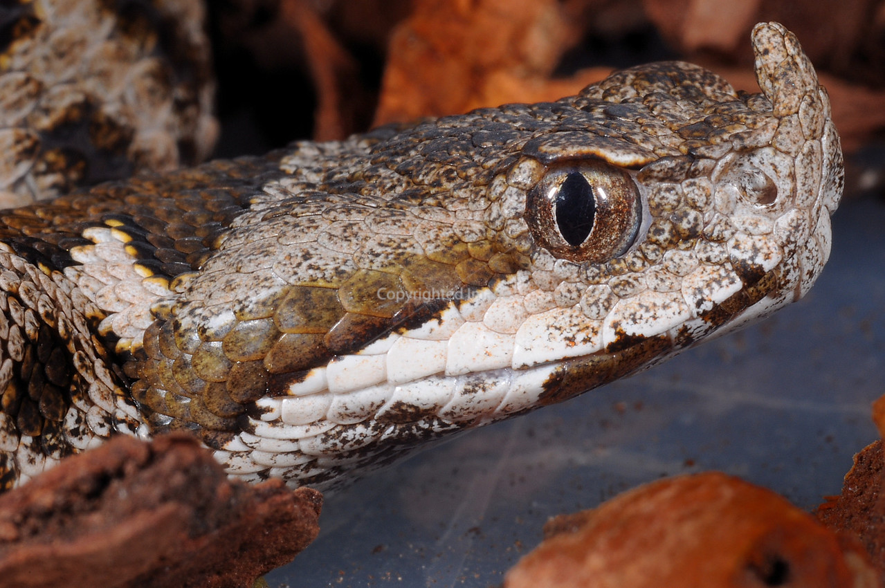 Southern Nose Horned Viper (neonate male)