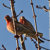 House finch male with leg bands.