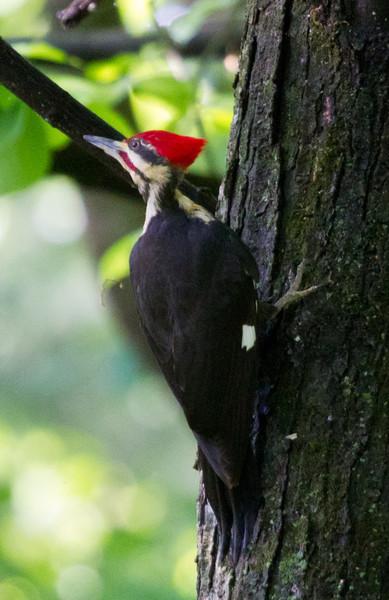 Pileated Woodpecker<br /> Edith J. Carrier Arboretum, 5/15/11