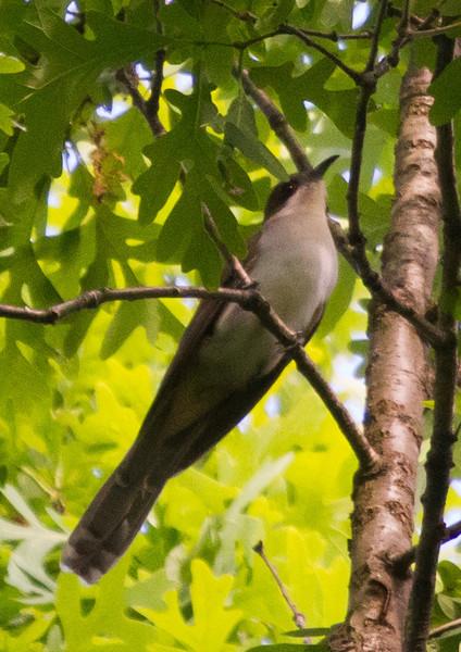 Black-billed Cuckoo<br /> Edith J. Carrier Arboretum, 5/15/11