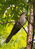 Black-billed Cuckoo<br /> Edith J. Carrier Arboretum, 5/15/11
