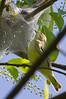 Cerulean Warbler <br /> Pocosin Fire Rd, Skyline Drive 5/15/11