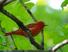 Summer Tanager<br /> Edith J. Carrier Arboretum, 5/15/11