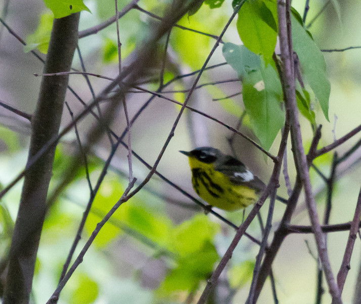 Magnolia Warbler<br /> Difficult light, photo here for the memory!<br /> Pocosin Fire Rd, Skyline Drive 5/15/11