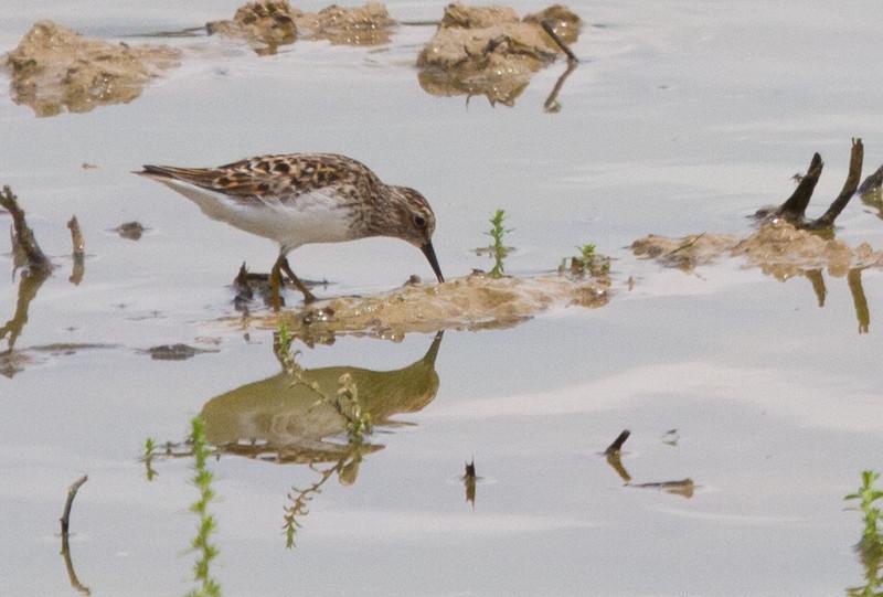 Least Sandpiper<br /> Leonard's Pond