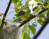 Cerulean Warbler gathering nest material (tent caterpillar web)<br /> Pocosin Fire Rd, Shenandoah National Park, 5/15/11