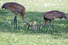 Volo Sandhill Cranes with a colt : Just a quick few.