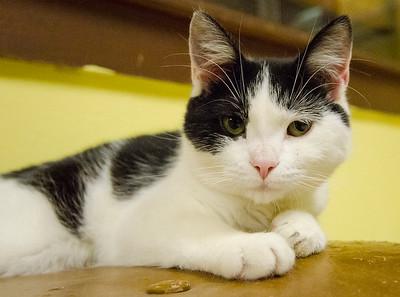 Volunteer Humane Society Adoptable Cats