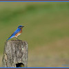 Bluebird - Male  = 05/27/2012  (taken in Monkton, MD)