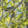 Blackpoll Warbler - Wilde Lake, Columbia MD - 5/5/2014