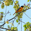 Baltimore Oriole (male) - Wilde Lake, Columbia, MD - 5/5/2014