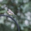 Black Capped Chickadee - 8/1/2013