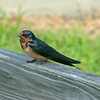 Barn Swallow - Berlin, Maryland