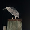 Black Crowned Night Heron -  8/4/2013 - Annapolis