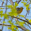 Baltimore Oriole (female) - Wilde Lake, Columbia, MD - 5/5/2014 -