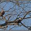American Eagle - A juvenile and adult  - 02/09/2013.