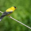 American Yellowfinch (male) - 7/26/2013 -