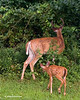 WHITETAIL BUCK & FAWN