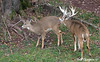 Whitetail Buck & Doe