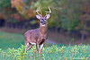 Whitetail Buck in rut