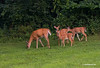 WHITETAIL DOE W/3 FAWNS