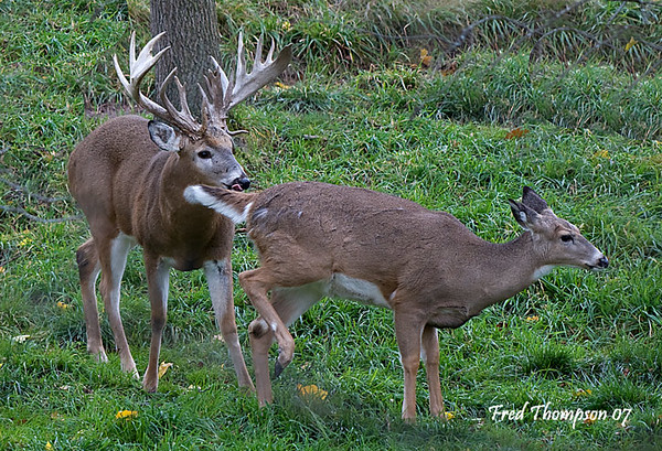 HUGE WHITETAIL BUCK CHECKING A DOE TO SEE IF SHE IS IN HEAT