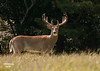 WHITETAIL BUCK LEAVING HIS SCENT AFTER MAKING A SCRAPE