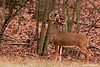 A nice Whitetail buck leaving his sent on a overhanging tree branch.