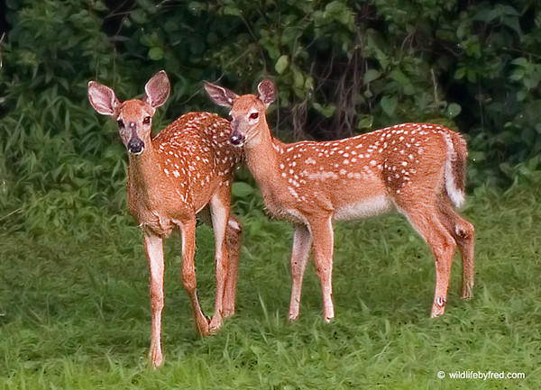 These two fawns both have a strange white spot on them. The one on the left has the spot right between the eyes, the fawn on the right has the spot on the nose.