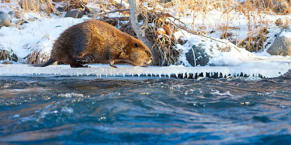 Beaver on the Truckee River, Downtown Reno, Nevada