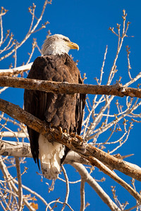 Bald Eagle, Rosewood Lakes Golf Course, Ward 3, Reno