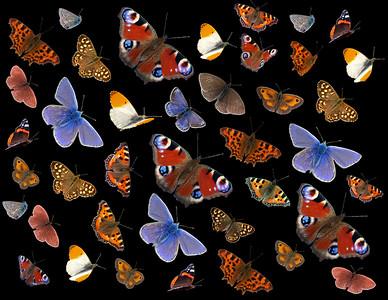 British Butterflies Collage