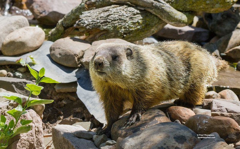 WOOD CHUCK--GROUND HOG--WHISTLE PIG--SOME OF THE NAMES FOR THIS ANIMAL