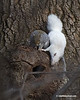 SQUIRRELS--GRAY& ALBINO