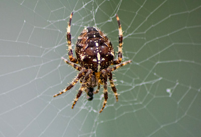 Garden Spider (female) - Araneus Diadematus