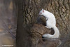 SQUIRRELS--GRAY & ALBINO