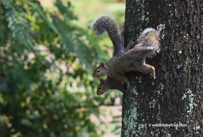 Juvenile Squirrels playing. When I first saw these squirrels I thought they were mating but after watching them for a while I realized they were young ones just having a good time playing.