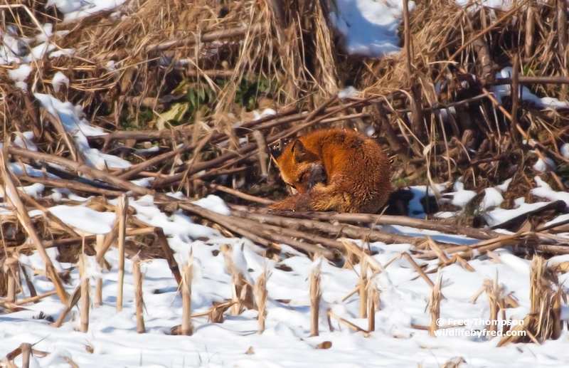 RED FOX SUNNING ITSELF ON A COLD WINTER DAY