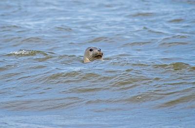 A Grey Seal at Saltfleet Haven