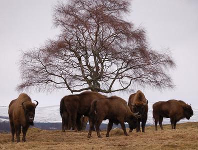 A group of European Bison, Highland Wildlife Park, Scotland