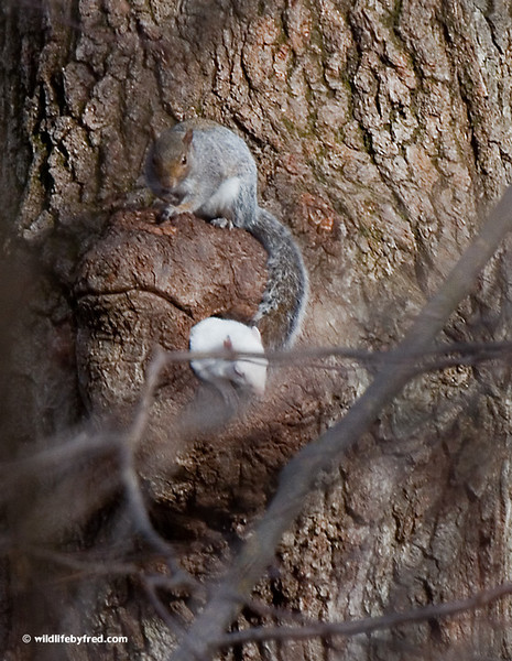 This albino squirrel is making it hard to get good photos, he always finds a branch to get behind.