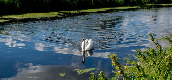 Swan on the river near Bracebridge