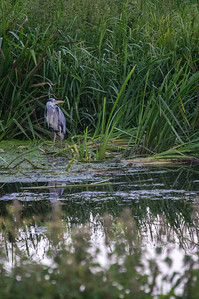 Heron on the river south of Lincoln