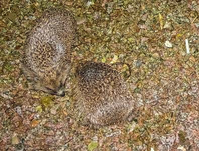 Hedgehogs, foreplay under our window at 1am