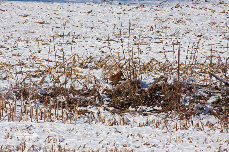 RED FOX---CAN YOU FIND THE FOX SUNNING ITSELF IN THIS PHOTO