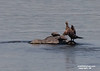 Cormorant and 2 snapping turtles sharing a rock.