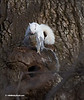 SQUIRRELS--GRAY & ALBINO MATING