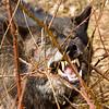 Wolf's dental floss